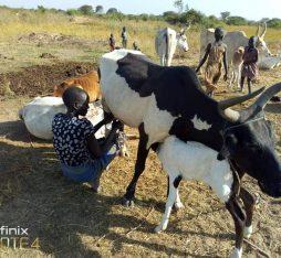 south sudan cow