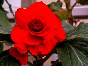 The Kimjongilia flower.