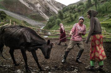 Yaghnobi tribespeople handling a cow.