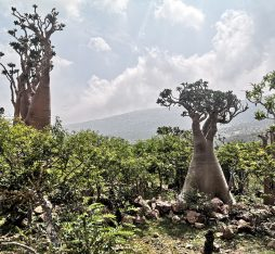 The bottle trees of Socotra
