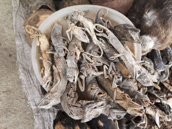 A pot of dried chameleons ingredient for animist rituals in Togo