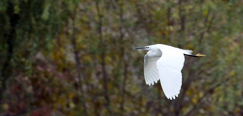 A Korean Heron, as can be spotted at the Mundok Migratory Bird Reserve