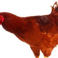 928249-chicken